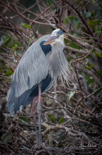 Great Blue Heron - Photographed at Wakodahatchee Wetlands