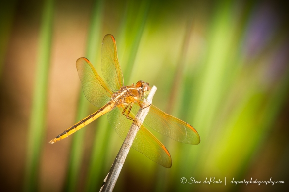 stevedaponte_dragonfly_color_img0376